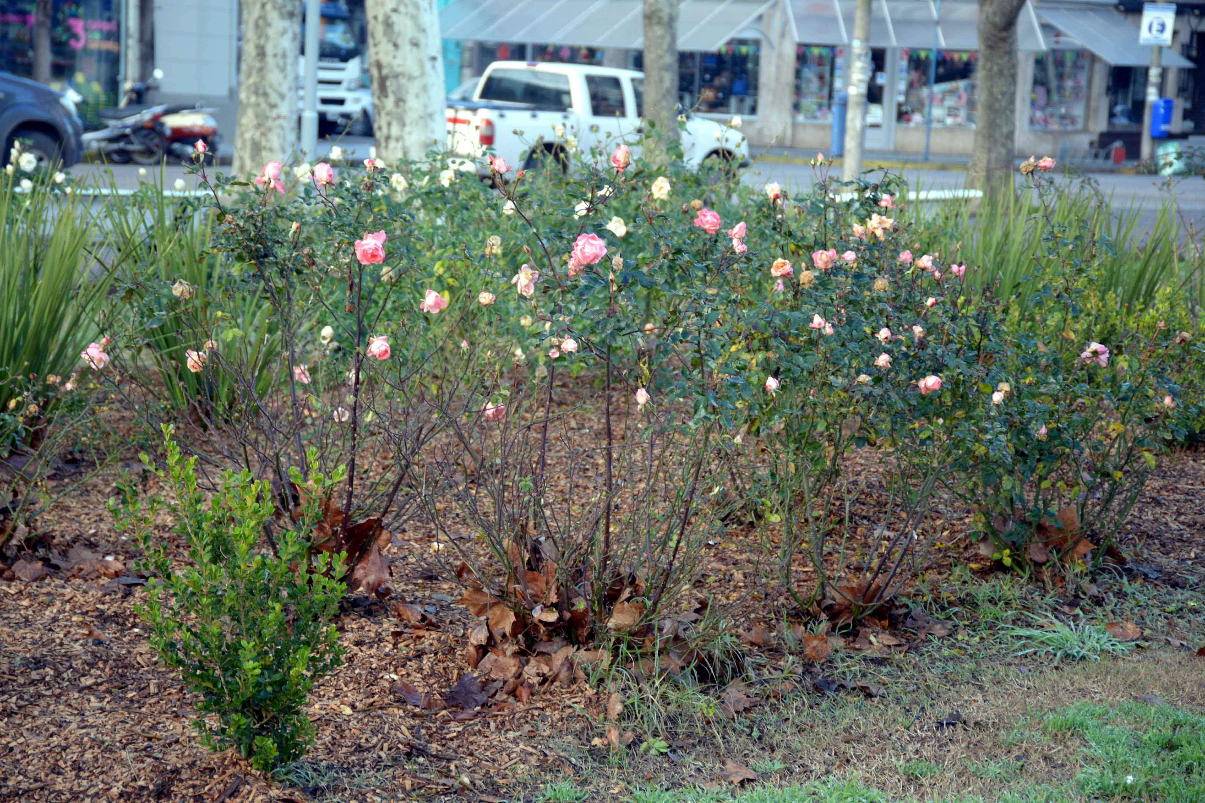 Este Año Habrá Una Nueva Jornada De Poda De Rosas En La Plaza
